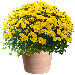 Yellow Chrysanthemums plant