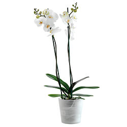 White Orchid in an elegant container