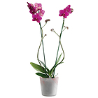 Orchid�e rose, 2 branches en pot