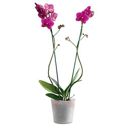 Orchidée rose en pot