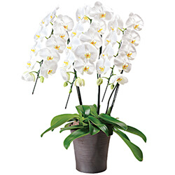 Arrangement of white orchid