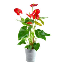 Anthurium red in an elegant container