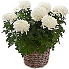 Weiße großblütige chrysanthemen