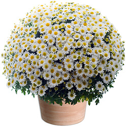 White Chrysanthemums plant