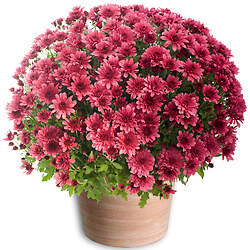 Purple Chrysanthemums plant
