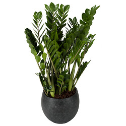 Potted Zamioculcas
