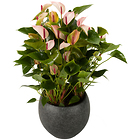 Anthurium Pflanze