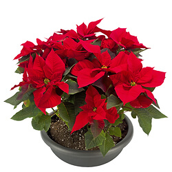 Arrangement of Red poinsettia