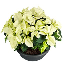 Arrangement of white poinsettia