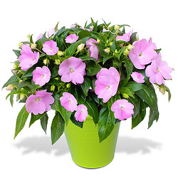 Potted Impatiens