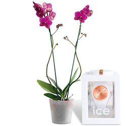 Pink Orchid with Ice Watch ��Rose-Gold��