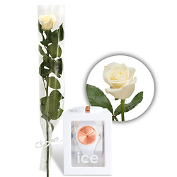 White rose with Ice-Watch ��Rose-Gold��