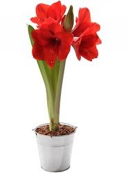 Livraison de fleurs france envoi de fleurs france for Amaryllis en bouquet