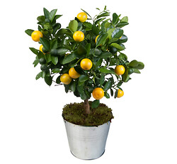 'Calamondin' orange tree
