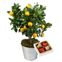'Calamondin' orange tree with Starry softness
