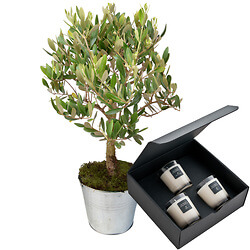 Olive tree with three scented candles