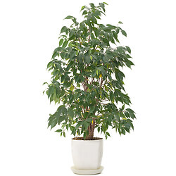 Bouquet Ficus en pot