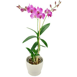 Bouquet Pink Orchid in an elegant container