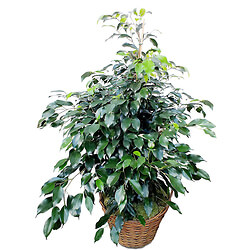 Bouquet Potted Ficus
