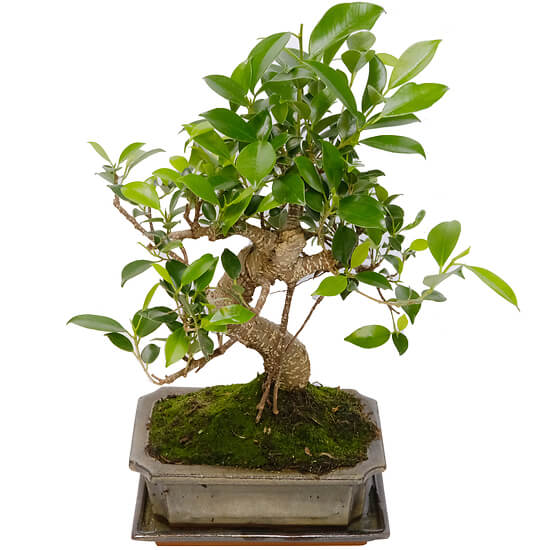 8 year old bonsai