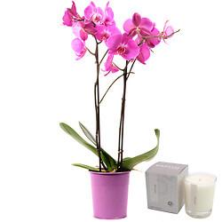 Nachtfalter-Orchidee