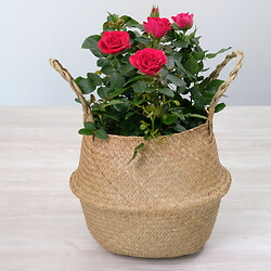 Indoor rose 'Neza'