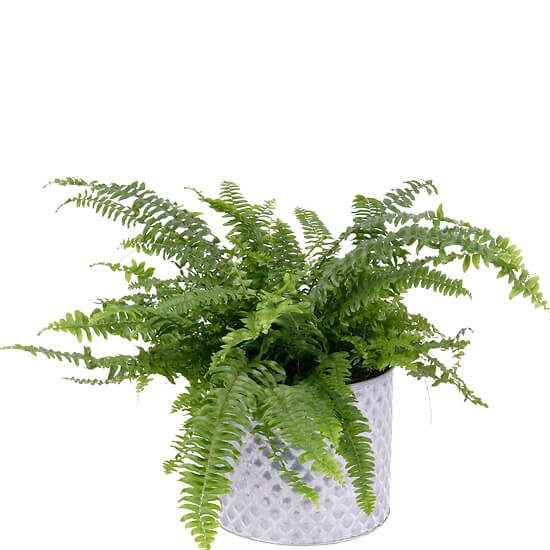The fern and its ceramic pot