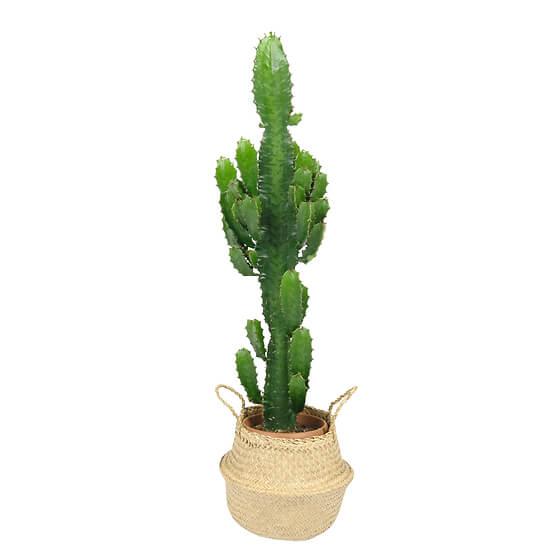 Euphorbia-Kaktus